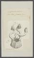 Coronula diadema - - Print - Iconographia Zoologica - Special Collections University of Amsterdam - UBAINV0274 101 01 0024.tif