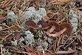 Cortinarius coleoptera H. Lindstr. & Soop 716532.jpg