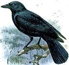 Corvus moneduloides.jpg