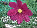 Cosmos bipinnatus from Lalbagh Flower Show August 2012 4579.JPG