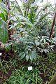 Costus dubius - Botanischer Garten - Heidelberg, Germany - DSC01195.jpg