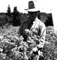 County Agent, Ron Davis, looks at a field of tansy, Clackamas County, ca. 1946 (5687462905).jpg