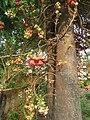 Couroupita guianensis - Cannon Ball Tree at Peravoor (46).jpg