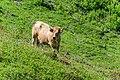 Cow at Col de Lens (1).jpg