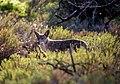Coyote 5D52C662-09EF-4BE8-88F5-A43BFDB92D67 (51389299478).jpg