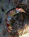 Crab-Oman.jpg