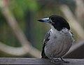 Cracticus torquatus -Brisbane, Queensland, Australia-8.jpg