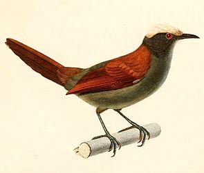 Cranioleuca albiceps 1847.jpg