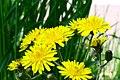 Crepis biennis ENBLA11.jpg