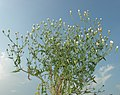 Crepis foetida plant (23).jpg