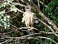 Crested Serpent Eagle-Korakundah Sholas Nilgiris.JPG