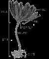 Crinoid anatomy.png