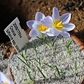 Crocus biflorus adamii BotGardMunich 20170225 E.jpg