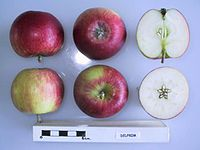 Cross section of Delprim, National Fruit Collection (acc. 1982-193).jpg