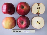 Cross section of Elshof, National Fruit Collection (acc. 1999-017).jpg