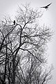 Crows snowy tree Flagstaff.jpg