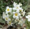 Cryptantha flavoculata 6.jpg
