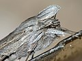Cucullia umbratica - The Shark - Капюшонница серая (27185274238).jpg