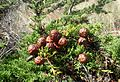 Cupressus macrocarpa kz1.jpg