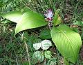 Curcuma inodora W IMG 1286.jpg