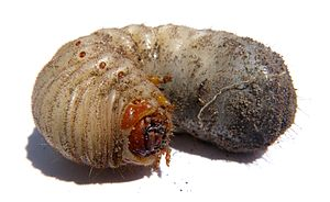 English: A curl grub (of some kind of Australi...