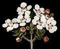 Cyathostemon blackettii - Flickr - Kevin Thiele.jpg