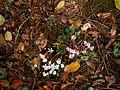Cyclamen hederifolium & 'Album' 4.jpg