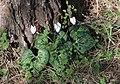 Cyclamen persicum 01.jpg