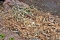 Cygnus olor (Küken) - Arboretum 2011-05-30 14-20-36.JPG
