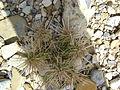Cylindropuntia imbricata (5664969793).jpg