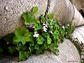 Cymbalaria muralis - Flickr - antoniovera1.jpg