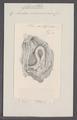 Cynthia microcosmus - - Print - Iconographia Zoologica - Special Collections University of Amsterdam - UBAINV0274 092 01 0044.tif