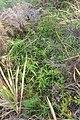 Cyperus albostriatus Schrad. (AM AK357214-3).jpg