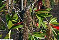 Cyrilla racemiflora 18zz.jpg