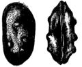 Cytheridea Mivart.png