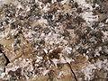 Dactylopius coccus (El Paso) 03 ies.jpg