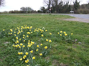 English: Daffodils by the A1122 A final spring...