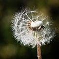 Dandelion (29759520076).jpg