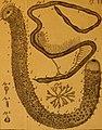 De quibusdam animalibus marinis, eorumque proprietatibus, orbi litterario vel nondum vel minus notis, liber - cum nonnullis tabulis aeri incisis, ab auctore super vivis animalibus delineatis (1761) (20833843016).jpg