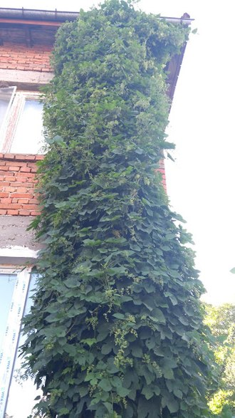 Hops - Humulus on a house