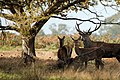 Deer - RSPB Minsmere (37577002760).jpg