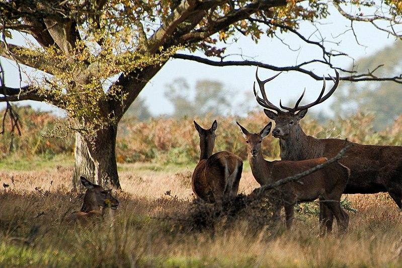 Deer - RSPB Minsmere