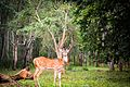 Deer Herd in Nagarhole forest.jpg