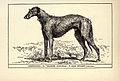 Deerhound BDL.jpg