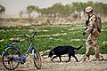 Defense.gov News Photo 120318-M-MM918-006 - U.S. Marine Cpl. Kyle Click and his military working dog Windy an improvised explosive device detection dog search the perimeter of the Safar.jpg