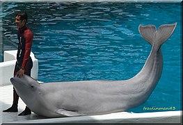 Delphinapterus leucas.jpg