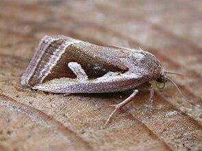 Ried-Grasmotteneulchen (Deltote uncula)
