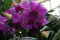Dendrobium bigibbum phalaenopsis 1zz.jpg