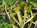 Dendrophthoe falcata var. falcata - Honey Suckle Mistletoe at Blathur 2017 (2).jpg