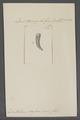 Dentalium crassum - - Print - Iconographia Zoologica - Special Collections University of Amsterdam - UBAINV0274 081 10 0005.tif